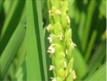 おしべがわずかに見える稲の花