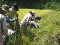 稲刈りに収穫の喜びがじわり