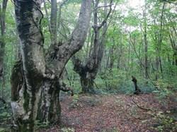ブナが低いところから枝分かれしているのは、昔、人間がブナの木を生活に使っていたからだそうです。人は森にも生かされているのですね<br />