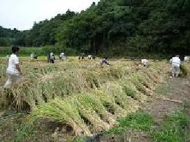 刈りとった稲の束はおだがけで天日干しに。めずらしい変わった形ですね!