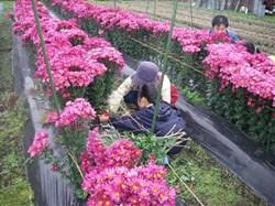高橋さんは花も生産、花の摘み取りもさせていただきました<br />