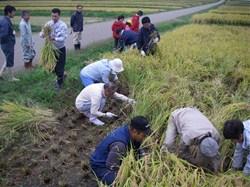 さあ、いよいよ稲刈りの始まりです。<br />