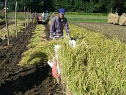 バインダーという稲刈り機で2列ずつ刈っていきます