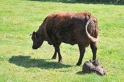 宿泊場所の目の前には牛の親子がいました