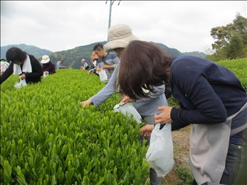 お茶の葉を丁寧に摘みました