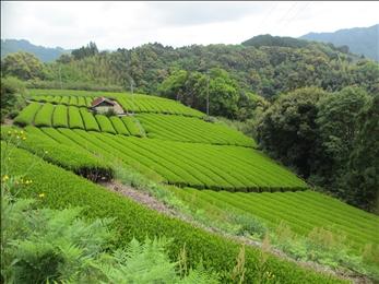 美しい茶畑は日本の原風景<