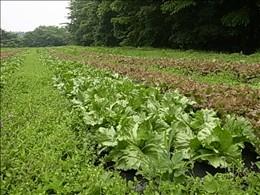 化学合成農薬・化学肥料を使わずに育てているレタス畑